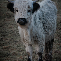 Buy canvas prints of White Highland Cattle - High Park Cow by rawshutterbug