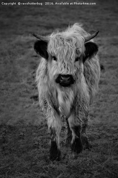 Highland Cow - White High Park Cow Mono Framed Print by rawshutterbug