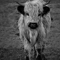 Buy canvas prints of Highland Cow - White High Park Cow Mono by rawshutterbug