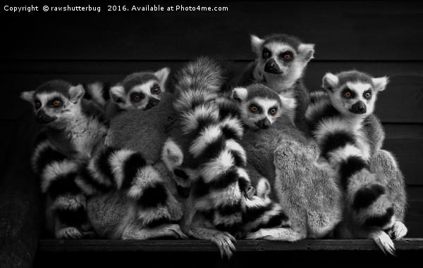 Gang Of Ring-Tailed Lemurs Canvas Print by rawshutterbug