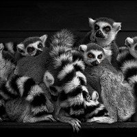 Buy canvas prints of Gang Of Ring-Tailed Lemurs by rawshutterbug