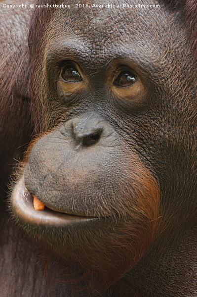 Orangutan Face Canvas Print by rawshutterbug