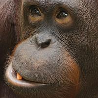 Buy canvas prints of Orangutan Face by rawshutterbug