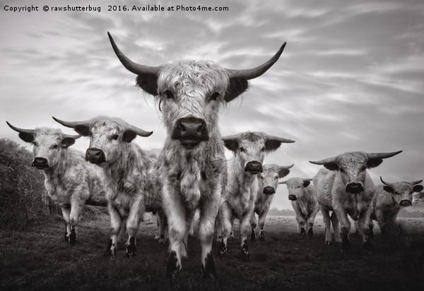 Highland Cattle Mixed Breed Mono Canvas print by rawshutterbug
