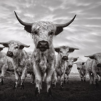 Buy canvas prints of Highland Cattle Mixed Breed Mono by rawshutterbug