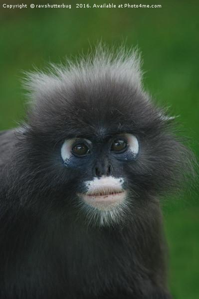 Dusky Leaf Monkey Portrait Framed Print by rawshutterbug