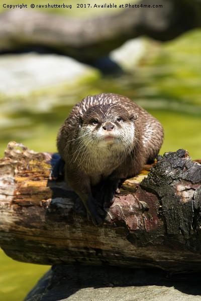 Otter On A Tree Trunk Canvas print by rawshutterbug