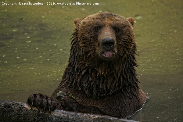 Grizzly Bear In The Water Canvas print by rawshutterbug