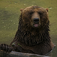 Buy canvas prints of Grizzly Bear In The Water by rawshutterbug
