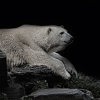 Buy canvas prints of Polar Bear On The Rock by rawshutterbug