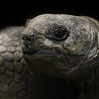 Buy canvas prints of Giant Aldabra Tortoise Close-Up by rawshutterbug