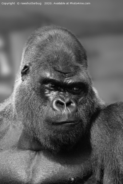 Silverback In Black And White Canvas Print by rawshutterbug