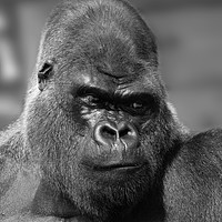 Buy canvas prints of Silverback In Black And White by rawshutterbug