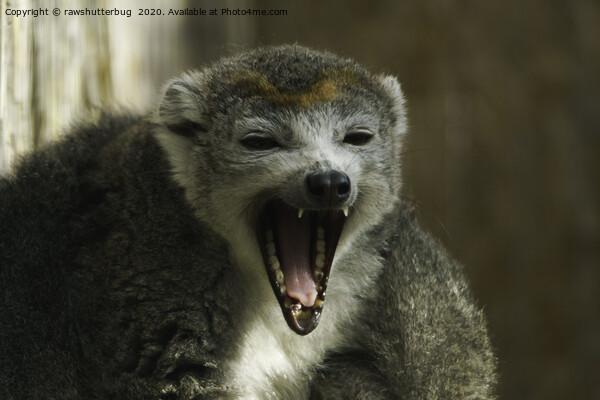 Yawning Crowned Lemur Canvas Print by rawshutterbug