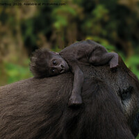 Buy canvas prints of Baby Gorilla Holding On To Her Mother by rawshutterbug