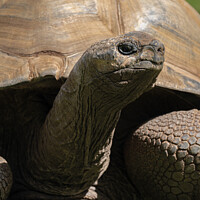 Buy canvas prints of Giant Tortoise by rawshutterbug