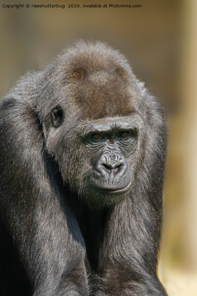 Female Gorilla Canvas Print by rawshutterbug