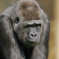 Buy canvas prints of Female Gorilla by rawshutterbug