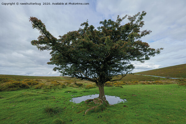 Single Tree At Dartmoor National Park Canvas Print by rawshutterbug