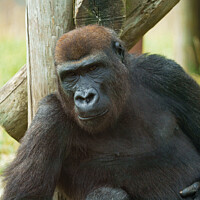 Buy canvas prints of Gorilla Lope by rawshutterbug