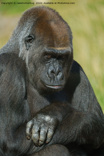 Gorilla Asante With Her Inquisitive Look Canvas Print by rawshutterbug