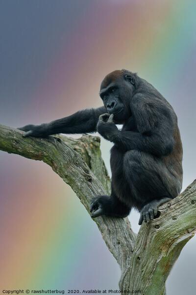Gorilla Lope Under The Rainbow Canvas Print by rawshutterbug