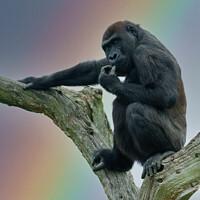 Buy canvas prints of Gorilla Lope Under The Rainbow by rawshutterbug
