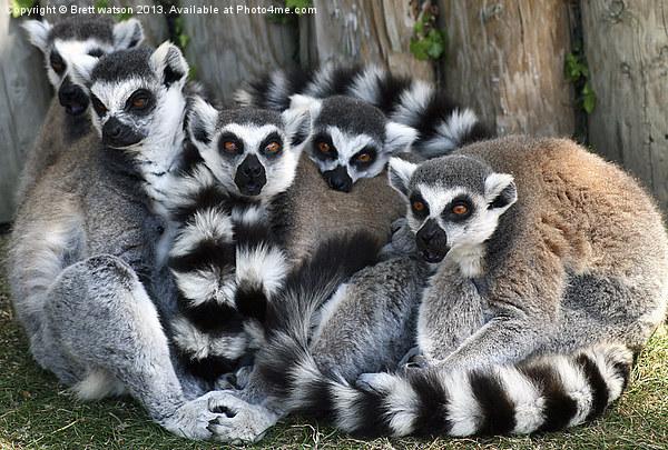 family of ringtail lemurs Canvas print by Brett watson