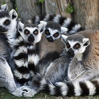Buy canvas prints of family of ringtail lemurs by Brett watson