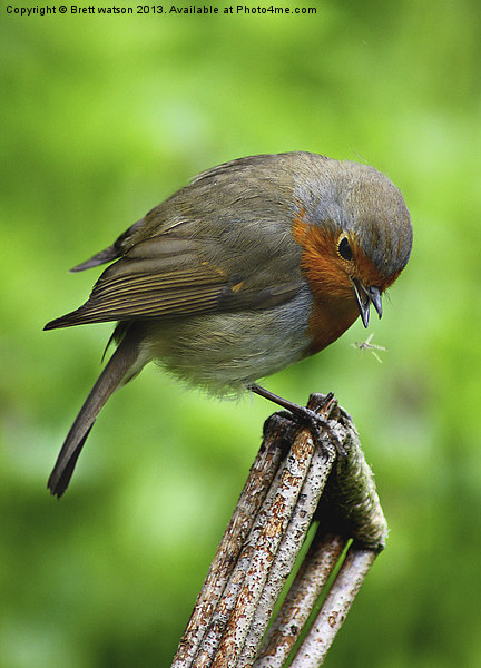 a robin redbreast just about to eat Canvas print by Brett watson