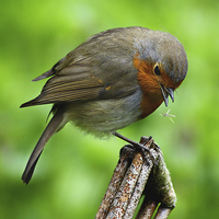 Buy canvas prints of a robin redbreast just about to eat by Brett watson