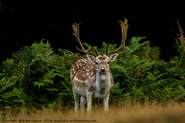 A  Male Fallow Deer Canvas print by Brett watson