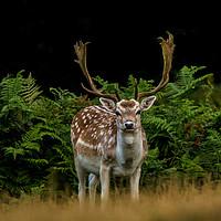 Buy canvas prints of A  Male Fallow Deer by Brett watson