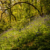 Buy canvas prints of Sunlit Bluebells by Tracey Yeo