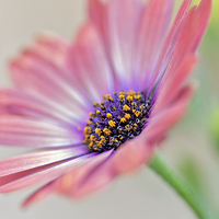 Buy canvas prints of  Beautiful Osteospermum by Brian Fry