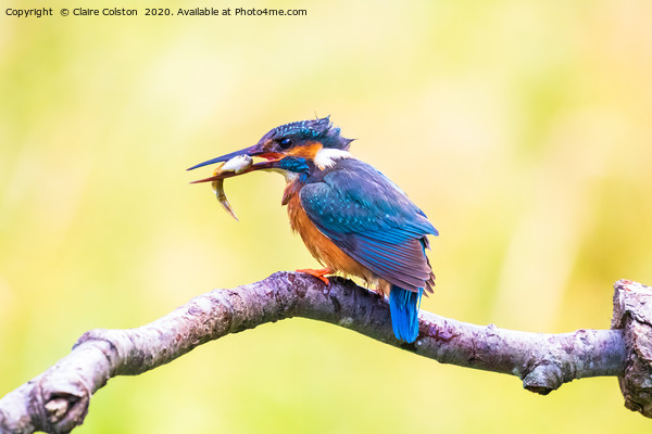 Kingfisher Framed Print by Claire Colston