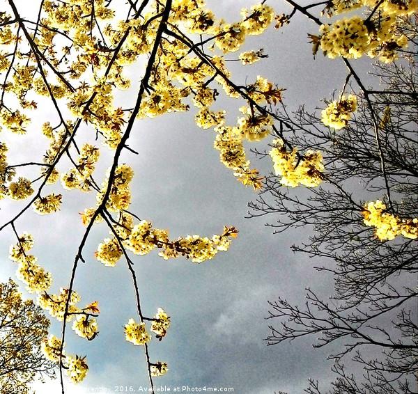 Blossom over dark skies Canvas print by Carmel Fiorentini