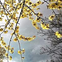 Buy canvas prints of Blossom over dark skies by Carmel Fiorentini
