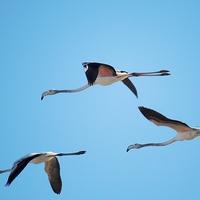 Buy canvas prints of Flamingos by Luís Barriga