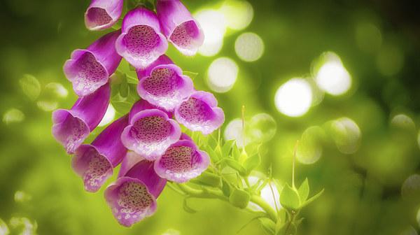 Foxgloves in the Summer Sun Canvas print by John Pinkstone