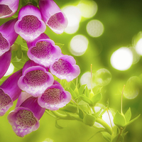 Buy canvas prints of Foxgloves in the Summer Sun by John Pinkstone