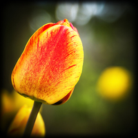 Buy canvas prints of  Tulip Lomo Style by John Pinkstone