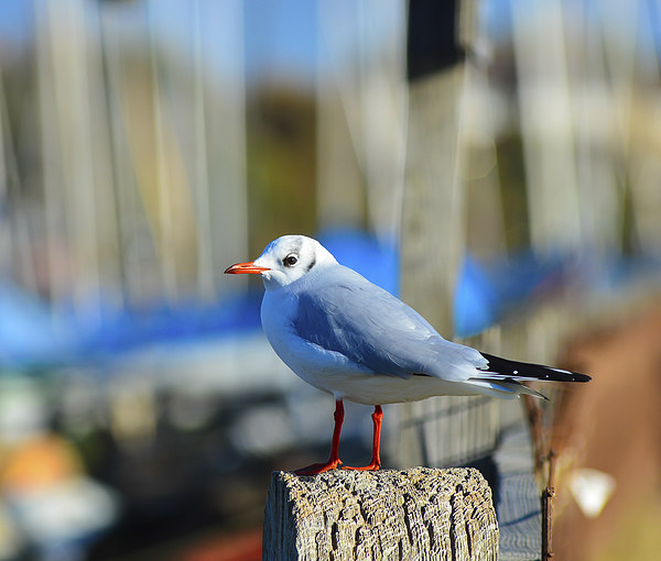 seagull posing Canvas print by nick wastie