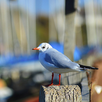 Buy canvas prints of seagull posing by nick wastie