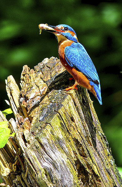 kingfisher Framed Print by nick wastie