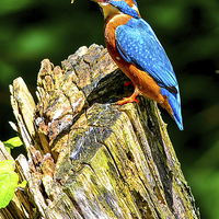 Buy canvas prints of kingfisher by nick wastie