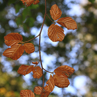 Buy canvas prints of Autumn Leaves by Tommy Dickson