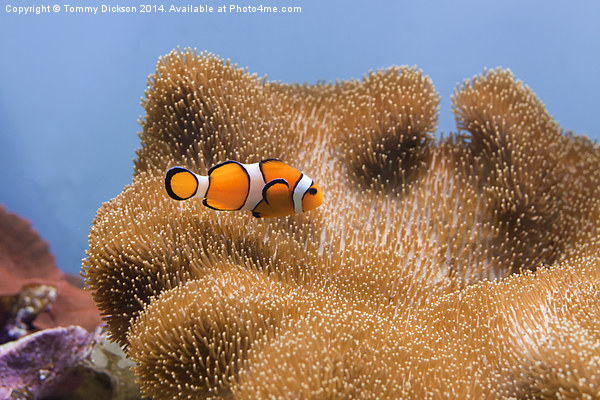 Clown Fish Framed Print by Tommy Dickson