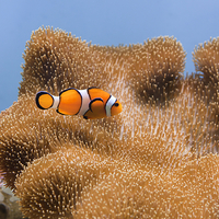 Buy canvas prints of Clown Fish by Tommy Dickson