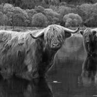 Buy canvas prints of Highland Coos. by Tommy Dickson
